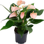 Anthurium andreanum MULTI FLORA Rose Clair - Flamingoplant
