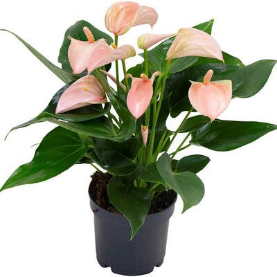 Anthurium andreanum MULTI FLORA Rose Clair -