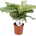 Calathea, Livingplant - Calathea orbifolia