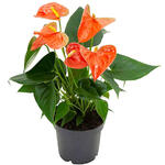 Flamingoplant - Anthurium andreanum  GRANDI FLORA Orange