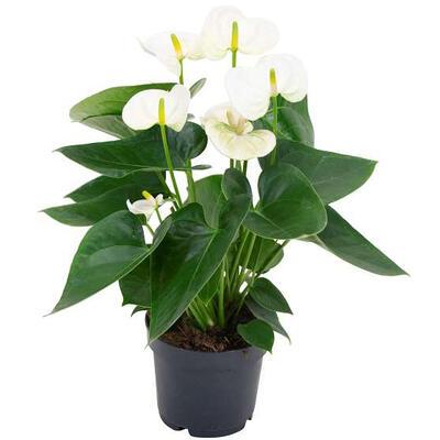 Anthurium andreanum 'Sierra White' -