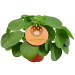 Pannekoekenplant - Pilea peperomioides