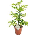 Schefflera arboricola 'Charlotte' - Vingersboom - Schefflera arboricola 'Charlotte'