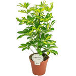 Schefflera arboricola 'Gerda' - Vingersboom - Schefflera arboricola 'Gerda'