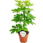 Schefflera arboricola 'Nora' - Vingersboom - Schefflera arboricola 'Nora'