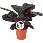 Calathea - Calathea roseopicta 'Dottie'