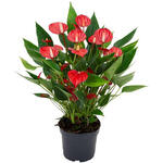 Anthurium andreanum MILLION FLOWERS Red - Anthurium andreanum MILLION FLOWERS Red - Flamingoplant