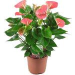 Anthurium andreanum GRANDI FLORA Rose - Flamingoplant - Anthurium andreanum GRANDI FLORA Rose