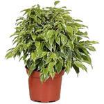 Ficus benjamina 'Green Kinky' - Treurvijg - Ficus benjamina 'Green Kinky'