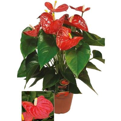 Anthurium andreanum GRANDI FLORA Red -