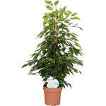 Ficus benjamina 'Anastasia' - Treurvijg - Ficus benjamina 'Anastasia'