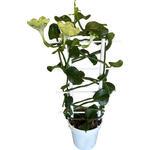 Ceropegia sandersonii - Lantaarnplant, Afrikaanse parachuteplant - Ceropegia sandersonii