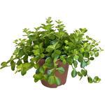 Peperplant, Zwanenkruid - Peperomia rotundifolia