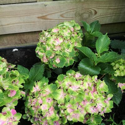 Hydrangea macrophylla MAGICAL 'Spotlight Pink' -
