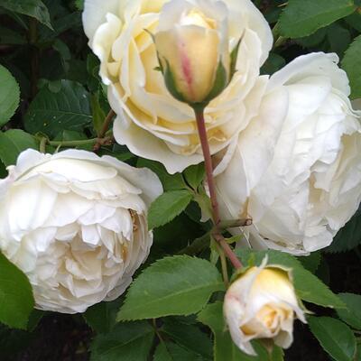 Rosa 'Fisser Jolandia' -