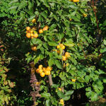 Malus 'Golden Hornet' - Sierappel - Malus 'Golden Hornet'