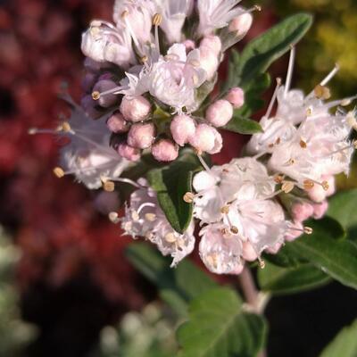 Caryopteris x clandonensis 'Stephi' -