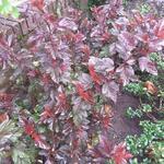 Physocarpus opulifolius 'Little Angel' - Blaasspirea - Physocarpus opulifolius 'Little Angel'