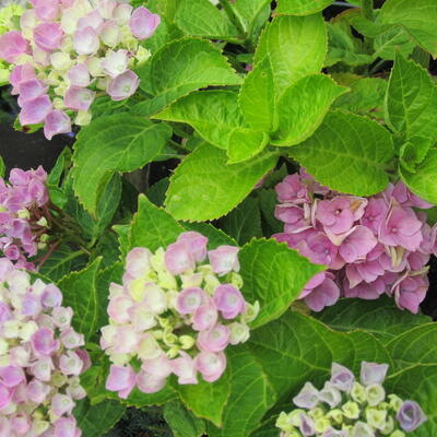 Hydrangea macrophylla 'MAGICAL' -