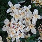 Thymus 'Hartington Silver' - Thymus 'Hartington Silver' - Kleine tijm