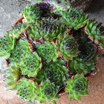 Sempervivum calcareum 'Blacktop' -