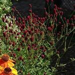 Sanguisorba 'Beetlewings' - Sanguisorba 'Beetlewings' - Pimpernel