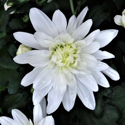 Chrysanthemum indicum 'Mount Runca White' -