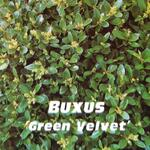 Buxus 'Green Velvet' - Buxus 'Green Velvet' - Buxus, randpalm