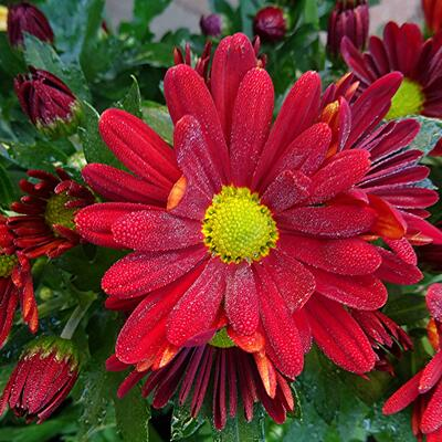 Chrysanthemum indicum'Elliot' -