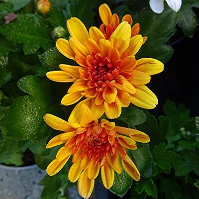 Chrysanthemum Indicum 'Jive Time' -