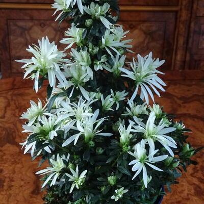 Rhododendron simsii 'MAGICSNOW Winter Beauty' -
