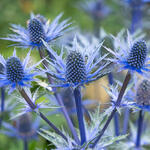 Eryngium x zabelii 'Big Blue' - Kruisdistel - Eryngium x zabelii 'Big Blue'
