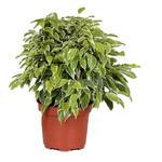Ficus benjamina 'Kinky' - Treurvijg - Ficus benjamina 'Kinky'