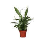 Spathiphyllum 'Alana' - Lepelplant - Spathiphyllum 'Alana'