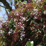 Jasminum polyanthum - Jasminum polyanthum - Jasmijn, Kamerjasmijn