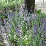 Perovskia atriplicifolia 'Blue Spire' - Russische salie - Perovskia atriplicifolia 'Blue Spire'