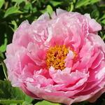 Paeonia suffruticosa  (roze) - Boompioen - Paeonia suffruticosa  (roze)