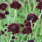 Scabiosa atropurpurea 'Chile Black' - Duifkruid/Schurftkruid - Scabiosa atropurpurea 'Chile Black'