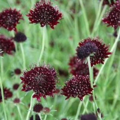Scabiosa atropurpurea 'Chile Black' -