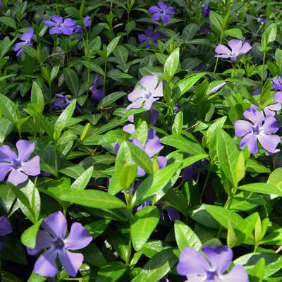 Vinca minor - Kleine maagdenpalm - Vinca minor