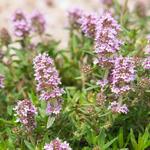 Thymus vulgaris - Echte tijm - Thymus vulgaris