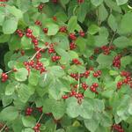 Lonicera xylosteum - Rode kamperfoelie, Rode struikkamperfoelie - Lonicera xylosteum