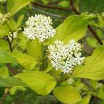 Cornus alba - Witte kornoelje - Cornus alba