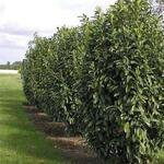 Prunus laurocerasus 'Genolia' - Laurierkers - Prunus laurocerasus 'Genolia'