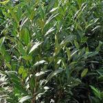 Prunus Laurocerasus 'Herbergii - Laurierkers - Prunus Laurocerasus 'Herbergii