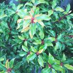 Prunus lusitanica 'Brenelia' - Portugese laurier - Prunus lusitanica 'Brenelia'