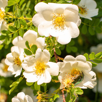 Rosa arvensis -