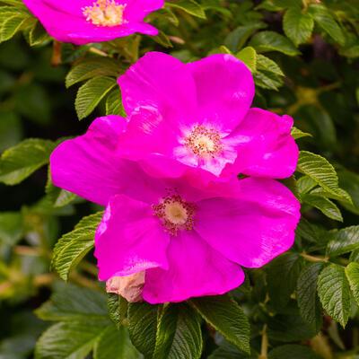 Rosa nitida -