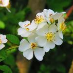 Rosa multiflora - Veelbloemige roos - Rosa multiflora