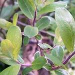 Salix aurita - Geoorde wilg - Salix aurita